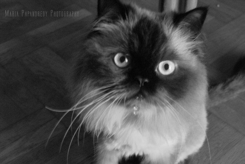 Shiva_tha_cat