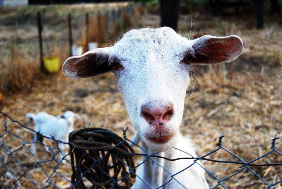 Yo_Goat