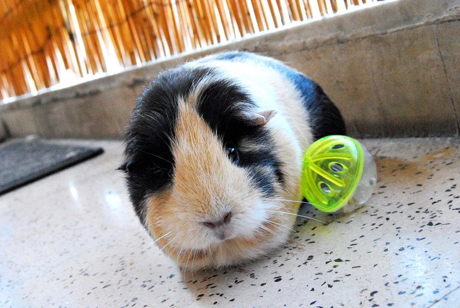 Zeledoula_Guinea_Pig